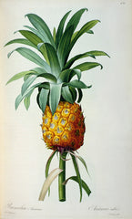 Bromelia Ananas from 'Les Bromeliacees', Pierre-Joseph Redouté Alternate View