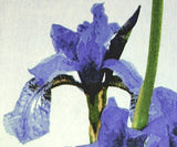 Irises Woodblock, Claire Cameron-Smith - CultureLabel