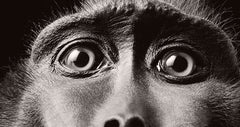 Monkey Eyes, Tim Flach Alternate View