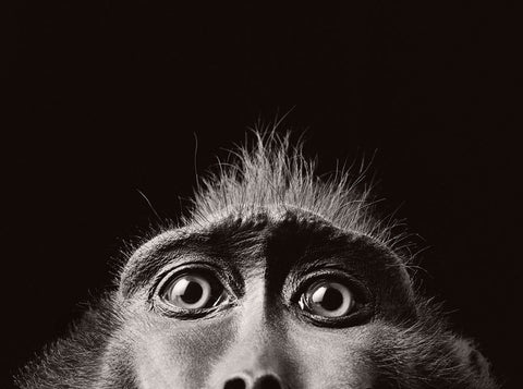Monkey Eyes, Tim Flach - CultureLabel - 1