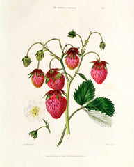 The Roseberry Strawberry, Watte & Thomas Kelly Alternate View