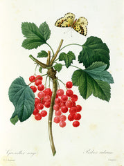 Currants: Red, Pierre Joseph Redoute Alternate View