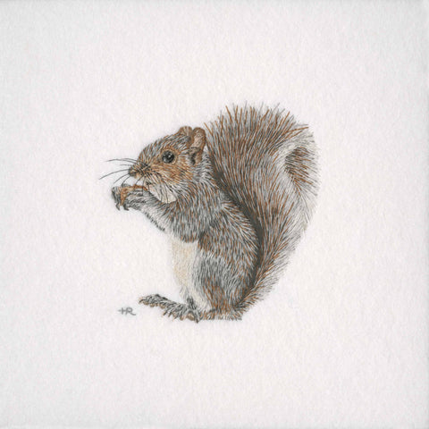 Grey Squirrel Prints and Cards