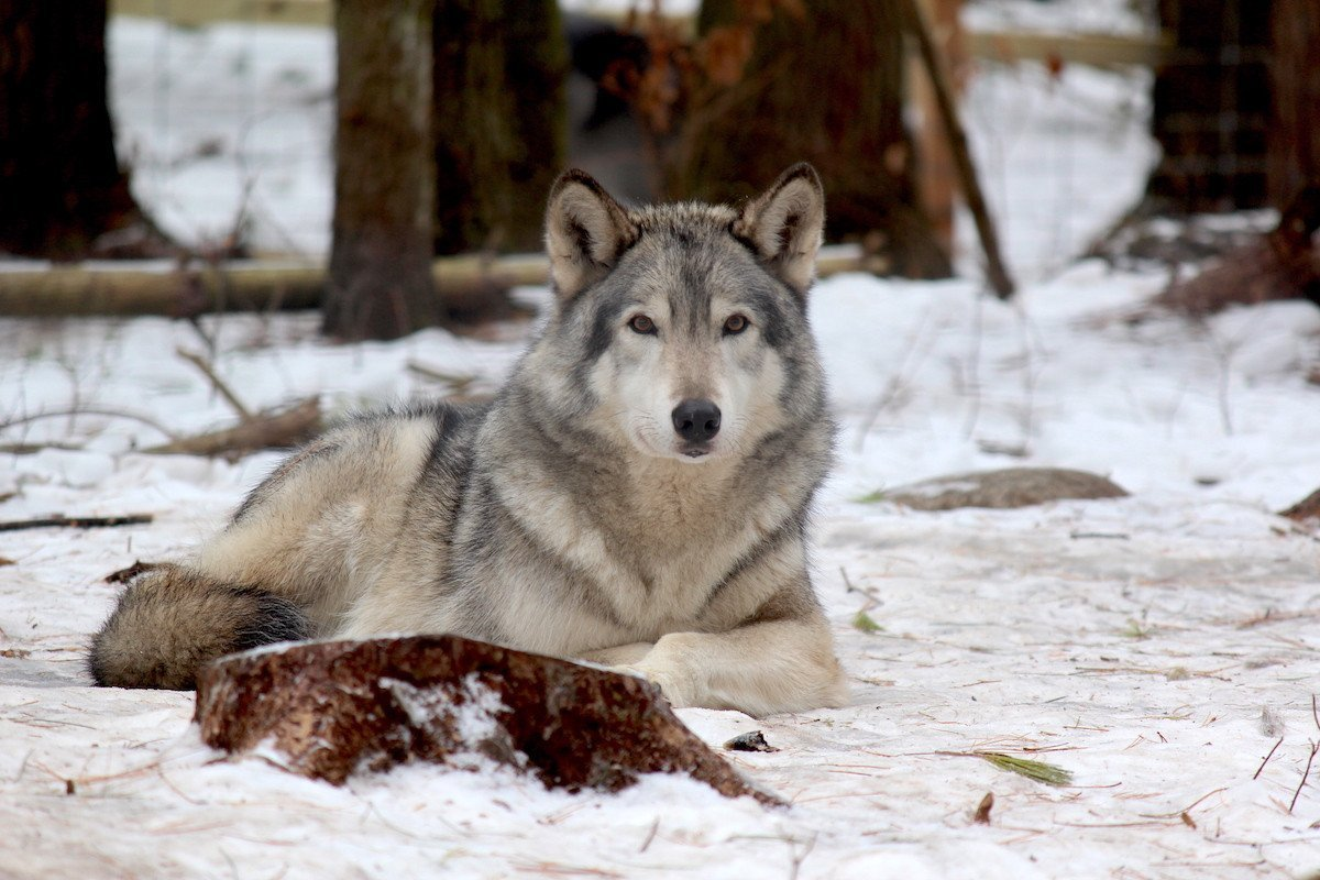 LOCALadk Feature: Into The Eyes Of The Wolves | Pure Adirondacks