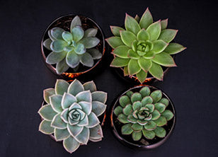 A succulent collection with desert rose.