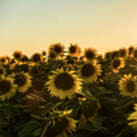 Image of lots of pretty sunflowers in a sunny field