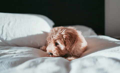 Image of a cute fluffy puppy lying on a bed