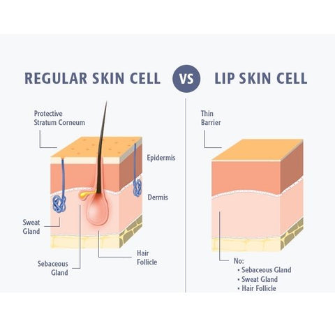 regular skin cell vs lip skin cell