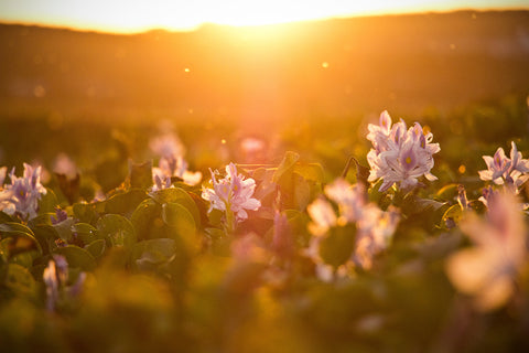 Image showing a field full of flowers during the sunset with warm sunlight shining over them.