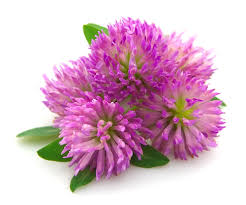 Red Clover, used in ARK's Nourishing Moisturiser, has a soothing, anti-inflammatory effect on skin and is excellent for more mature or dry skin.