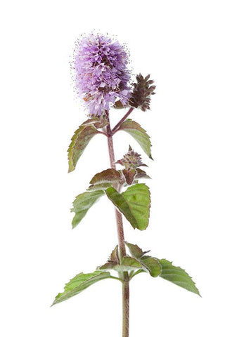 ARK Skincare uses Wild Water Mint in its Hydrating Toner for its stimulating peppermint, radical scavenging flavonoids and moisturising saccharides.