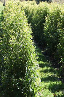 lemon myrtle farm