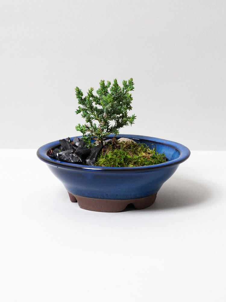 Mini Bonsai Starter