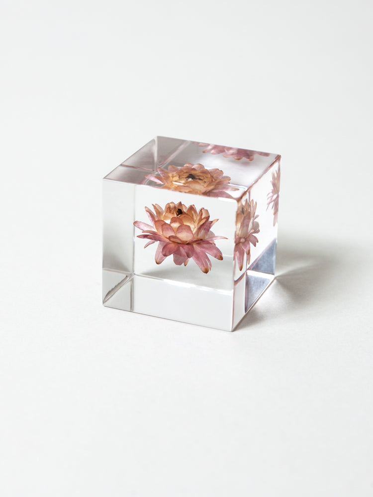 Sola Cube - Strawflower