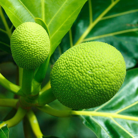St. Vincent's Breadfruit (Box)