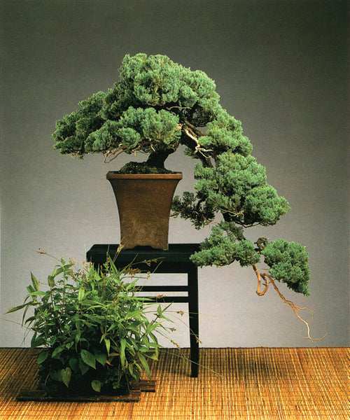 Let's talk about Junipers