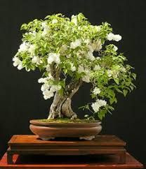 Serissa japonica- The tree of a Thousand Stars