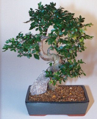 Indoor Bonsai - USA