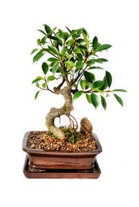 This truly amazing bonsai features incredible exposed root structure, which coincides with a beautiful texture rock embedded in the soil. Not to be outdone, the foliage is impressive. These bonsais are recommended for home, office or dorm use as they can adapt to almost any light conditions.