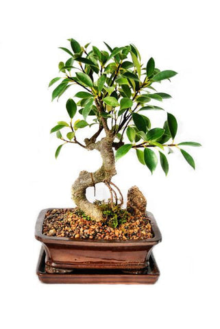 Ficus Retusa Bonsai Tree - Medium Tiger Bark Fig
