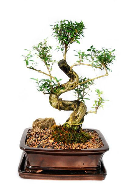 Are you looking for a  ladies bonsai with  beautiful white, trumpet shaped flowers. When in bloom, this bonsai radiates a very mature and elegant look. The leaves have a shiny dark green color. Trained from a young age, this bonsai have exquisite branch and trunk structure along with solid root structure.