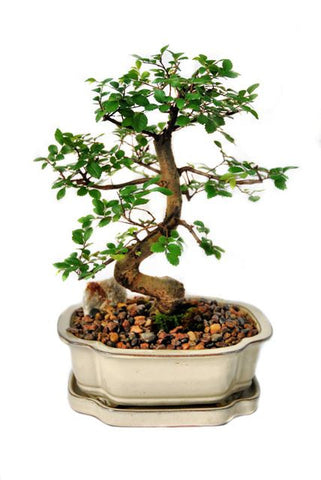 Chinese Elm Bonsai Tree- Large-OUT OF STOCK