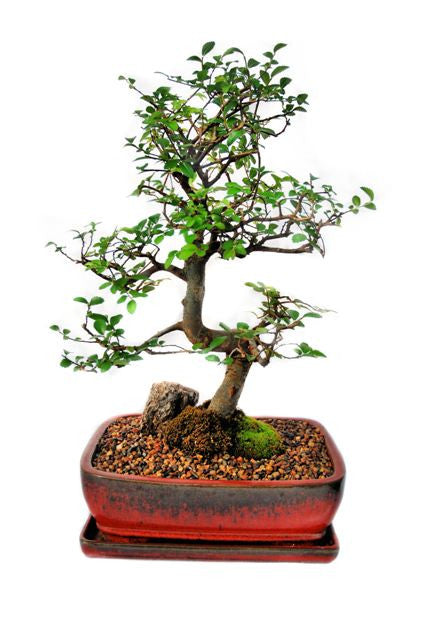 Chinese Elm Bonsai Tree Extra Large Zen Garden And Bonsai