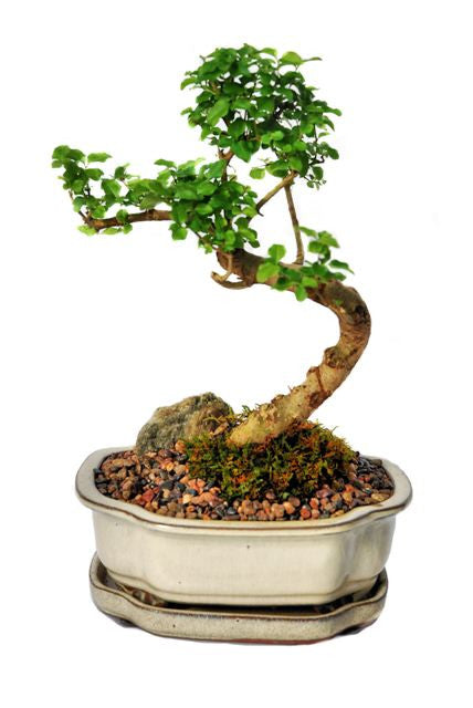 This bonsai blossoms beautiful small white flowers, usually in June. The foliage is very tight and compact making the bonsai very attractive. The trunk develops great stature and character giving the impression of maturity and age. This bonsai is recommended for indoor use.