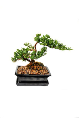 "Juniper Bonsai Tree in a 7"" pot"