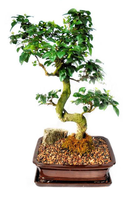 This bonsai blossoms beautiful small white flowers, usually in June. The foliage is very tight and compact, making the bonsai very attractive. The trunk develops great stature and character giving the impression of maturity and age. This bonsai is recommended for indoor use.
