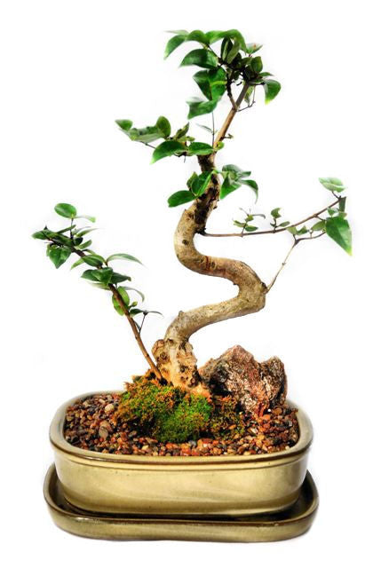 This bonsai have very striking, dark green leaves which are formed in pairs. The bark is red in colour which contrasts beautifully with the leaves. During springtime, this bonsai may produce small white flowers and edible fruit. This bonsai thrives in indoor conditions.