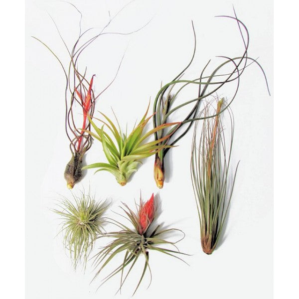 Package of Large Air Plants (6 pieces)