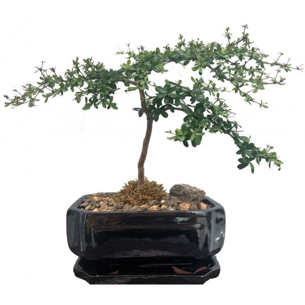 Black Olive Bucida Spinosa Bonsai Large