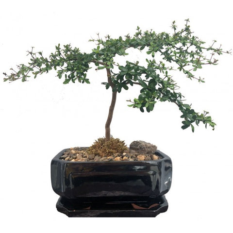 Black Olive Bucida Spinosa Bonsai Extra-Large 10""