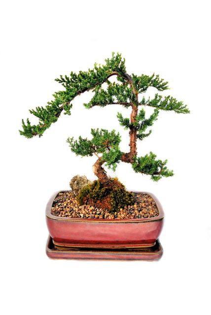 "Indoor/ Outdoor Juniper Bonsai  - 7 years old 16"" tall