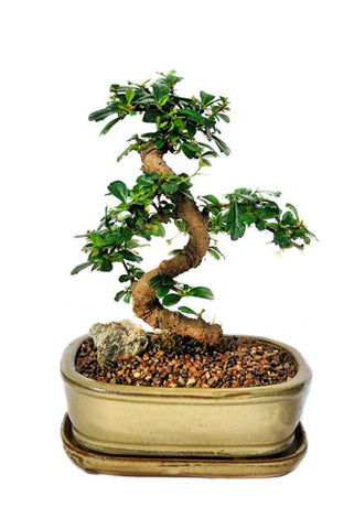 Fukien Tea Bonsai Tree -(carmona microphylla) Large