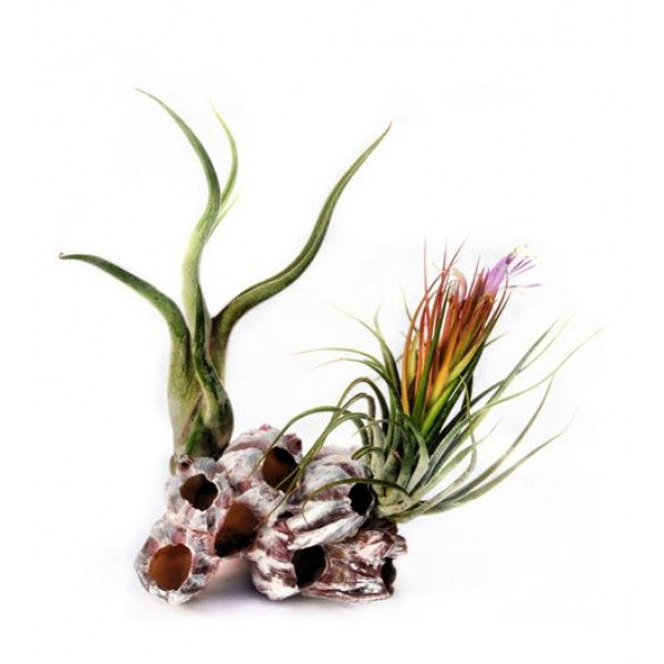 Air Plants on Pink Barnacle 2