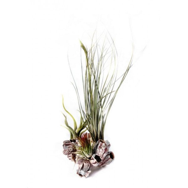 Air Plants on Pink Barnacle