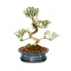 "SERISSA SNOWROSE EXTRA LARGE  BONSAI  10"" POT"