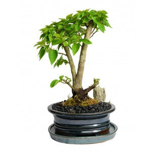 BONSAI BOUGAINVILLEA GLABRA MEDIUM 7""