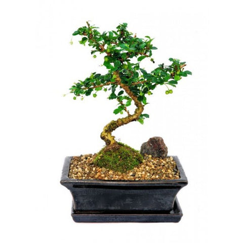 Carmona Microphylla Bonsai Medium