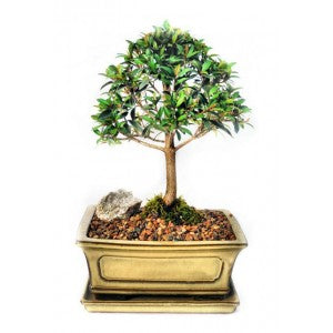 "BRUSH CHERRY LARGE 8"" EUGENIA BONSAI"