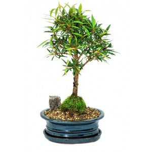 "FICUS NERIFOLIA 7"" NARROW LEAFED FIG BONSAI Medium"