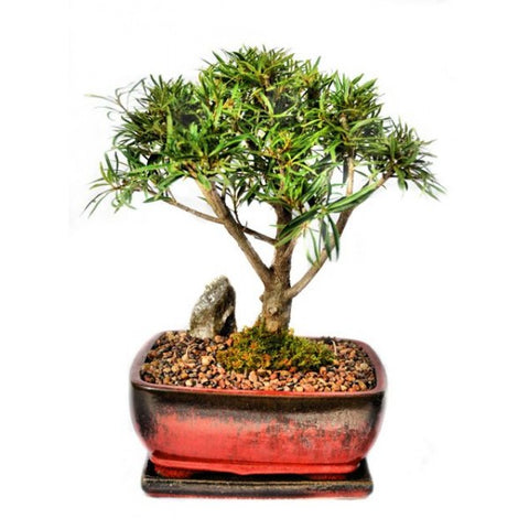 Ficus Nerifolia Bonsai Large- Out of stock