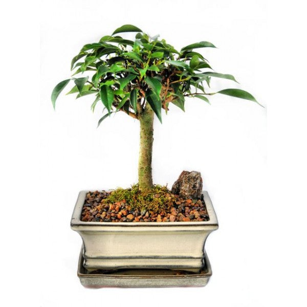 Ficus Oriental Bonsai Small