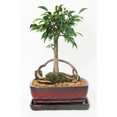 Ficus Oriental Bonsai Medium
