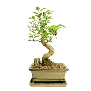 Styled Ficus Tiger Bark Bonsai Large