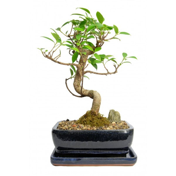 Styled Ficus Tiger Bark Bonsai Medium