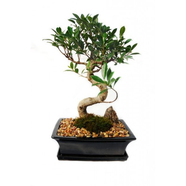 Styled Ficus Tiger Bark Bonsai Extra-Large
