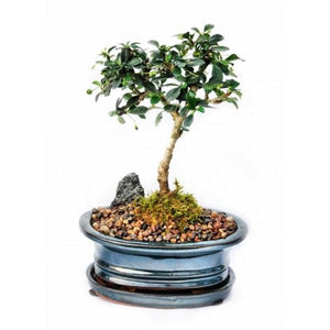 Create Your Own Bonsai- Fukien Tea- OUT OF STOCK